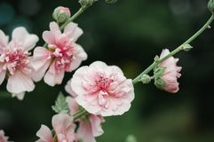 Beautiful pink mallow flowers in the Botanical garden stock images