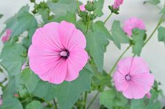 Beautiful pink mallow in the garden in summer.  Royalty Free Stock Image