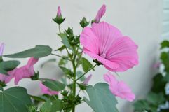 Beautiful pink mallow in the garden in summer.  Royalty Free Stock Photos