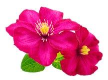 Beautiful pink mallows. Beautiful pink mallow flower isolated on white background Royalty Free Stock Photography