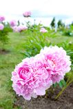 Bush with beautiful pink Minuet peony flowers royalty free stock image