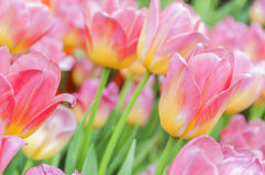 Beautiful pink mix with yellow color tulips Stock Image