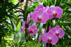 Beautiful pink moth orchids Stock Photos