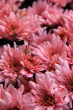 Beautiful pink Mums Royalty Free Stock Photo