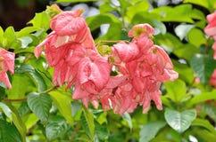Beautiful pink Mussaenda flower Stock Photo
