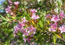 Beautiful pink nerium oleander flowers on bright summer day Royalty Free Stock Photo