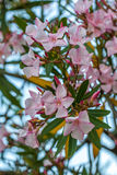 Beautiful pink nerium oleander flowers on bright summer day Royalty Free Stock Images