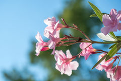 Beautiful pink nerium oleander flowers on bright summer day Royalty Free Stock Photography