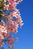 Beautiful pink Oleander flowers Royalty Free Stock Images