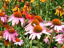 Beautiful pink and orange flowers. Pink and orange flowers in flowerbed at Eltham Palace gardens in summer royalty free stock images