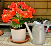 Beautiful pink-orange flowers with a watering can nearby royalty free stock photo