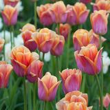 Beautiful pink-orange tulips blooming in the garden or in the park. Colorful and bright pink-orange tulips in a summer park or in a field stock images