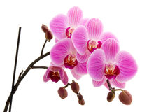 Beautiful pink orchid Royalty Free Stock Image