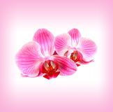 Beautiful pink orchid Stock Photo