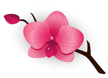 Beautiful pink Orchid Stock Image