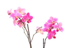 Beautiful pink orchid Royalty Free Stock Photography