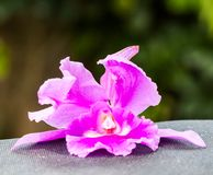 Beautiful pink orchid. Flower in the garden Stock Image