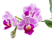 Beautiful pink orchid. White background. Selective focus on lower inflorescence, shallow DOF Stock Photography