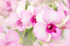 Beautiful pink orchid background Royalty Free Stock Photography