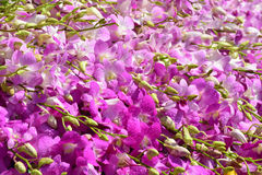 Beautiful Pink Orchid Background. Pompadour orchid background Royalty Free Stock Image