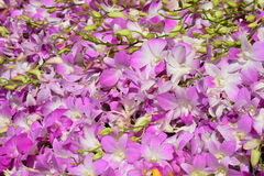 Beautiful Pink Orchid Background. Pompadour orchid background Stock Image