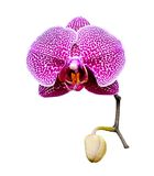 Beautiful pink orchid blooming. Stock Image