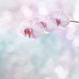 Beautiful pink orchid branch Royalty Free Stock Photography