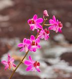 Beautiful pink orchid flower Stock Photography