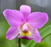Beautiful pink orchid flower Royalty Free Stock Images