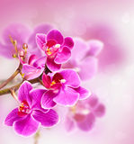 Beautiful pink orchid flower Royalty Free Stock Photography