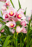 Beautiful pink orchid flower blooming Royalty Free Stock Photography