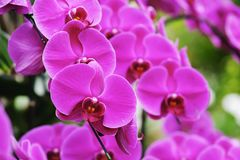 Beautiful pink orchid flower blooming at Thailand in rainy season Royalty Free Stock Image