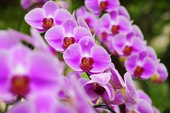 Beautiful pink orchid flower blooming at Thailand in rainy season Stock Photos