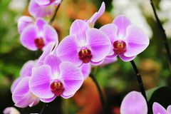 Beautiful pink orchid flower blooming at Thailand in rainy season Royalty Free Stock Photos