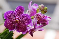 Beautiful pink orchid flower blooming at Thailand in rainy season Stock Photo