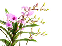 Beautiful pink orchid flower bud isolated on white background Stock Photography