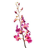 Beautiful pink orchid flower bud isolated on white background Stock Image