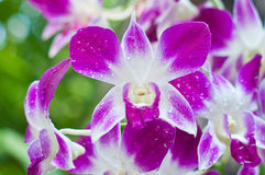 The beautiful pink orchid flower Royalty Free Stock Photography