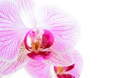 Beautiful Pink Orchid Flower Isolated on White Background Stock Images