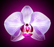 Beautiful Pink Orchid Flower on Violet Background Royalty Free Stock Photos