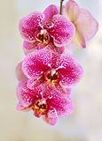 Beautiful pink orchid flowers background Stock Photo