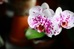 Beautiful pink orchid flowers on blurred background Royalty Free Stock Image
