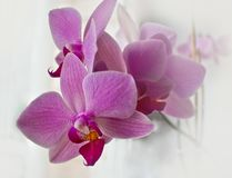 Beautiful pink Orchid flowers on delicate blurred background stock photography