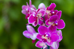 Beautiful pink orchid flowers- phalaenopsis Royalty Free Stock Images