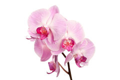 Beautiful pink orchid flowers on white Stock Photo