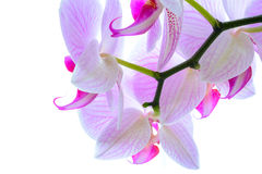 Beautiful Pink Orchid Flowers  on the White Background Royalty Free Stock Images
