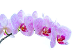 Beautiful Pink Orchid Flowers  on the White Background Royalty Free Stock Image
