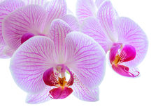 Beautiful Pink Orchid Flowers  on the White Background Stock Images