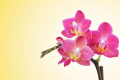 Beautiful pink orchid flowers Royalty Free Stock Photos