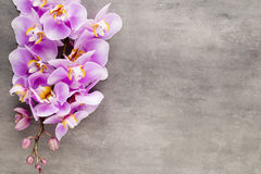Beautiful pink orchid on a gray background. Stock Images